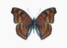 蝴蝶hedonia junonia摘要 库存图片