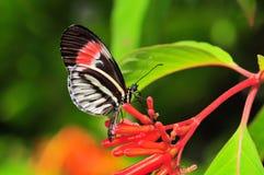 蝴蝶heliconius关键字钢琴 库存图片