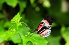 蝴蝶heliconius关键字钢琴 库存照片