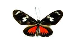 蝴蝶heliconius查出的melpomene 免版税库存图片