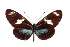 蝴蝶heliconius 免版税库存照片
