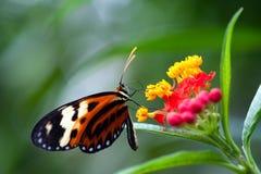蝴蝶heliconius longwing的xanthocles 免版税库存照片