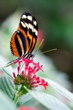 蝴蝶heliconius longwing的xanthocles 图库摄影