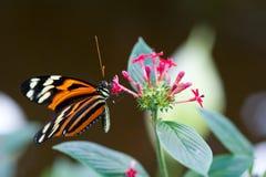 蝴蝶heliconius longwing的xanthocles 库存照片