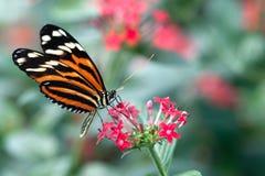 蝴蝶heliconius longwing的xanthocles 免版税库存图片