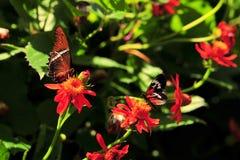 蝴蝶heliconius numata被打翻的页生锈 库存图片