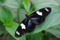 蝴蝶heliconius sara 免版税库存照片