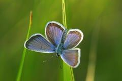 蝴蝶icarus polyommatus 免版税库存照片
