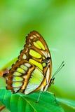 蝴蝶lacewing的红色 库存照片