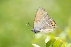 蝴蝶lycaenidae 免版税库存照片