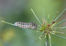蝴蝶machaon,在莳萝-茴香的饲料毛虫  图库摄影
