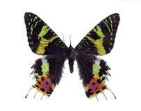蝴蝶Madagascan日落在白色背景隔绝的飞蛾宏指令 库存图片
