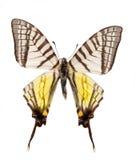 蝴蝶papilio xuthus 库存照片