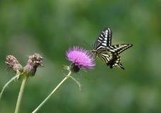 蝴蝶papilio xuthus 库存图片