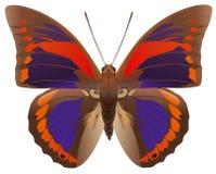 蝴蝶praenestina 免版税库存图片