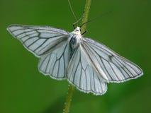 蝴蝶Siona lineana。 库存图片