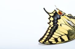 蝴蝶swallowtail白色权利 免版税库存照片