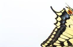 蝴蝶swallowtail白色detai 库存照片