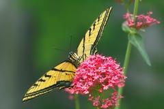 蝴蝶swallowtail老虎 免版税图库摄影