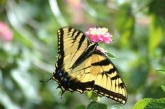 蝴蝶swallowtail黄色 免版税图库摄影
