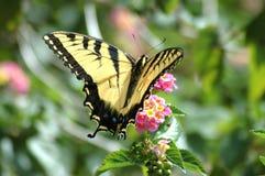 蝴蝶swallowtail黄色 库存图片