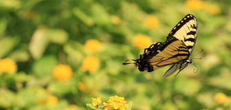 蝴蝶swallowtail 库存照片