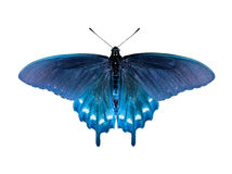 蝴蝶swallowtail 图库摄影