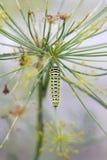 蝴蝶swallowtail - machaon,在莳萝的饲料毛虫- 免版税图库摄影