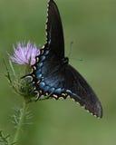 蝴蝶vi 库存照片