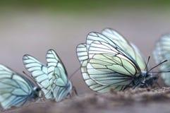 蝴蝶。黑成脉络的白色(Aporia crataegi) 免版税库存图片