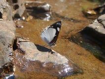 蝴蝶一点 图库摄影