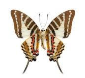 蝴蝶下单翼外形被隔绝在白色背景 库存照片