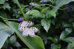 蝴蝶两 库存图片