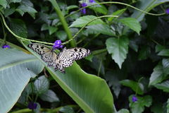 蝴蝶两 免版税库存照片
