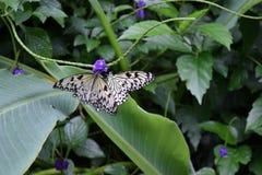 蝴蝶两 库存照片