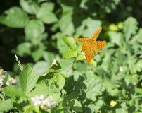 蝴蝶二 免版税库存图片