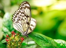 蝴蝶使有大理石花纹的白色 图库摄影