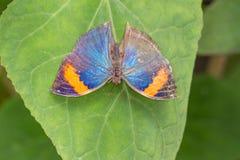 蝴蝶停止的叶子 图库摄影