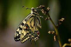 蝴蝶共同性Swallowtail 免版税库存照片