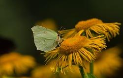 蝴蝶共同的硫磺& x28; Gonepteryx rhamni& x29;坐土木香花 库存照片