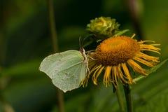 蝴蝶共同的硫磺Gonepteryx rhamni坐土木香花 免版税库存图片