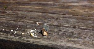 蝴蝶吃口味面包 图库摄影
