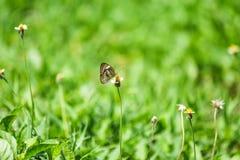 蝴蝶吃花蜜 图库摄影
