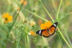 蝴蝶吃从花的糖浆 库存照片