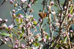 蝴蝶吃从花的花蜜 库存照片