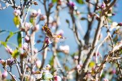 蝴蝶吃从花的花蜜 免版税库存照片