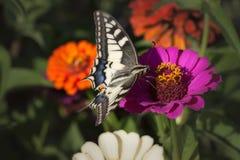 蝴蝶吃 库存图片