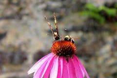 蝴蝶和土蜂在桃红色花 库存图片