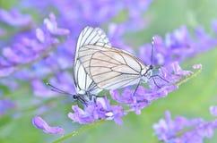 蝴蝶和早晨露水 免版税库存图片