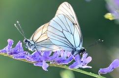 蝴蝶和早晨露水 免版税库存照片